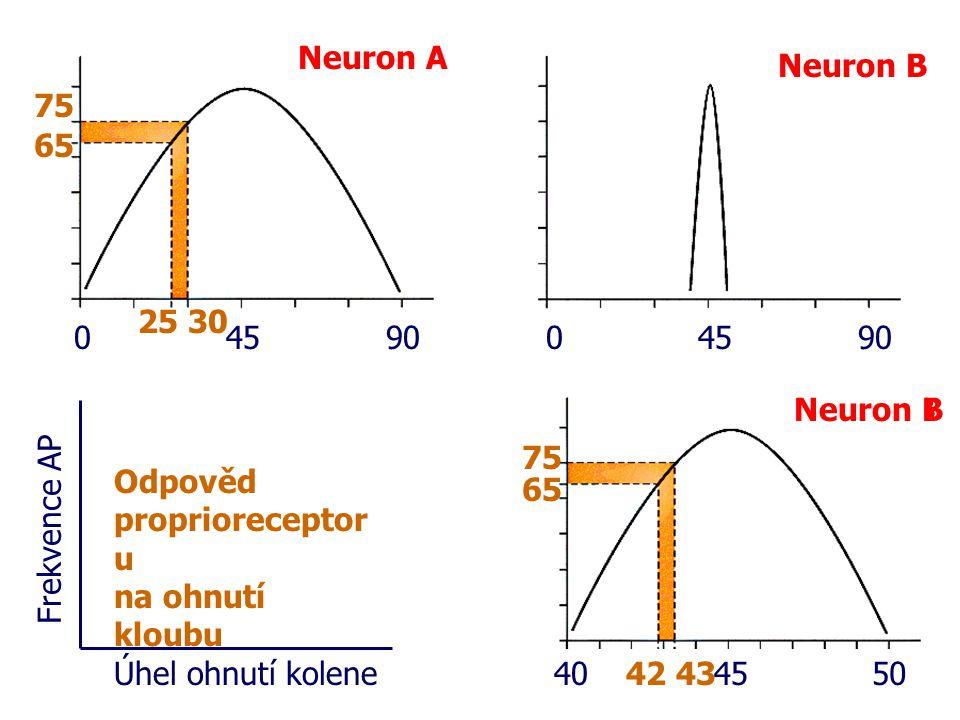 Neuron A Neuron B Úhel ohnutí kolene Frekvence AP 65 75 25 30 0459004590 Neuron B Odpověd proprioreceptor u na ohnutí kloubu 404550 65 75 42 43 Neuron