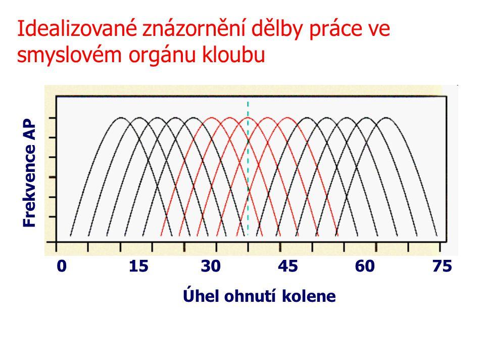 Úhel ohnutí kolene 0 15 30 45 60 75 90 Frekvence AP Idealizované znázornění dělby práce ve smyslovém orgánu kloubu