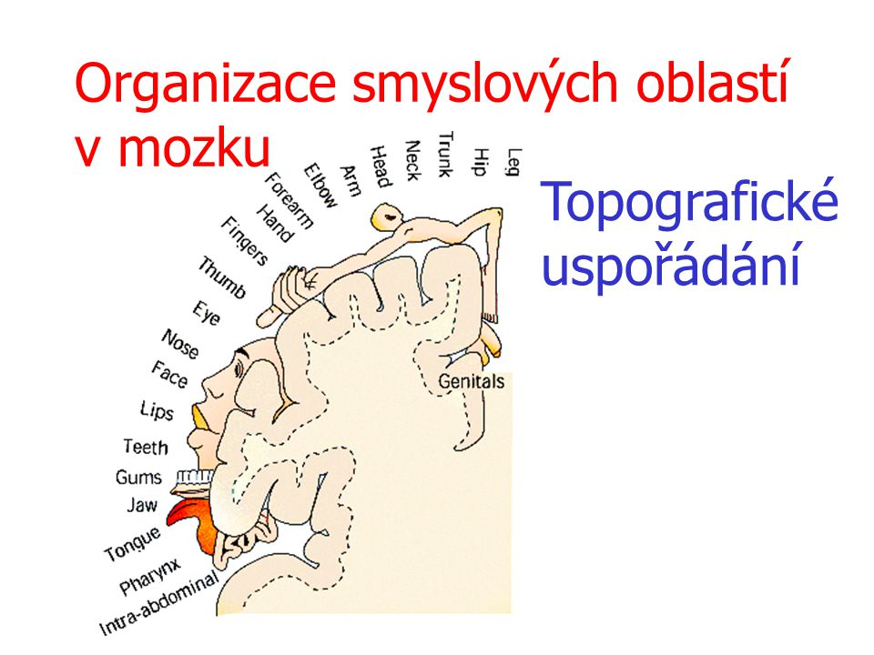 Organizace smyslových oblastí v mozku Topografické uspořádání