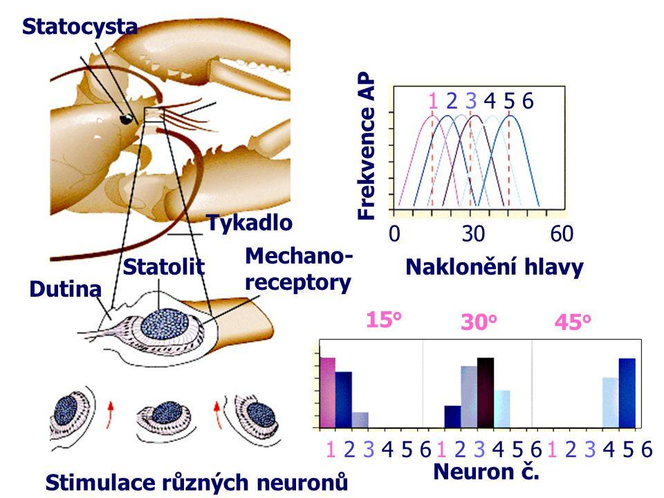 03060 Neuron č. 1 2 3 4 5 6 15 o 30 o 45 o Naklonění hlavy Frekvence AP Statocysta Statolit Mechano- receptory Dutina Stimulace různých neuronů 1 2 3