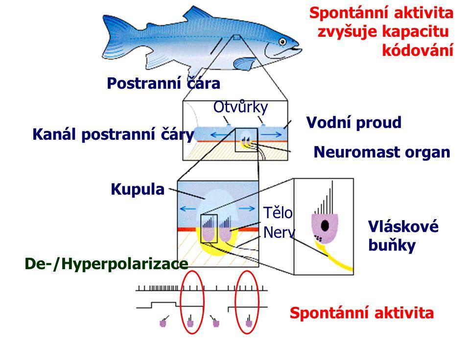Postranní čára Kanál postranní čáry Otvůrky Vodní proud Neuromast organ Kupula Vláskové buňky De-/Hyperpolarizace Tělo Nerv Spontánní aktivita zvyšuje