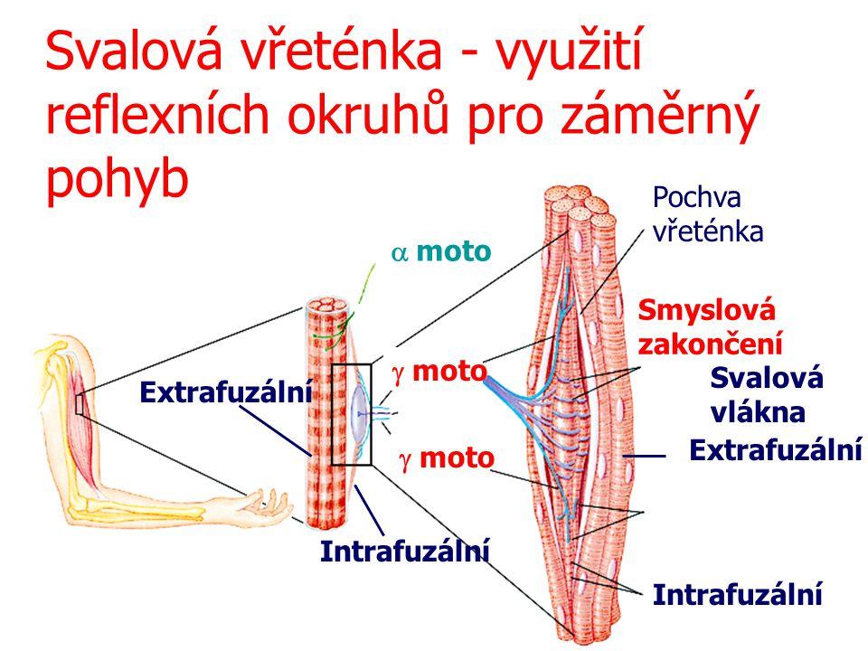 Svalová vřeténka - využití reflexních okruhů pro záměrný pohyb Pochva vřeténka Extrafuzální Intrafuzální Svalová vlákna Extrafuzální Intrafuzální  mo