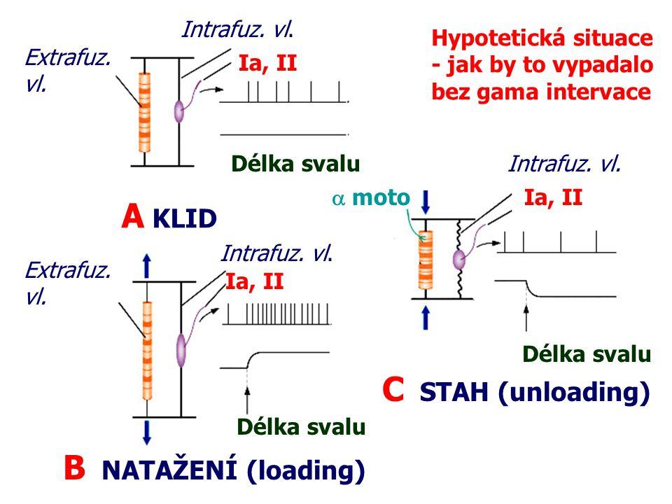 A KLID B NATAŽENÍ (loading) Extrafuz. vl. Intrafuz. vl. Ia, II Délka svalu Intrafuz. vl. Extrafuz. vl. C STAH (unloading) Délka svalu Ia, II Intrafuz.