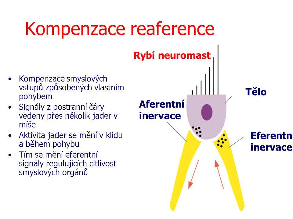 Kompenzace reaference Rybí neuromast Tělo Aferentní inervace Eferentní inervace Kompenzace smyslových vstupů způsobených vlastním pohybem Signály z po