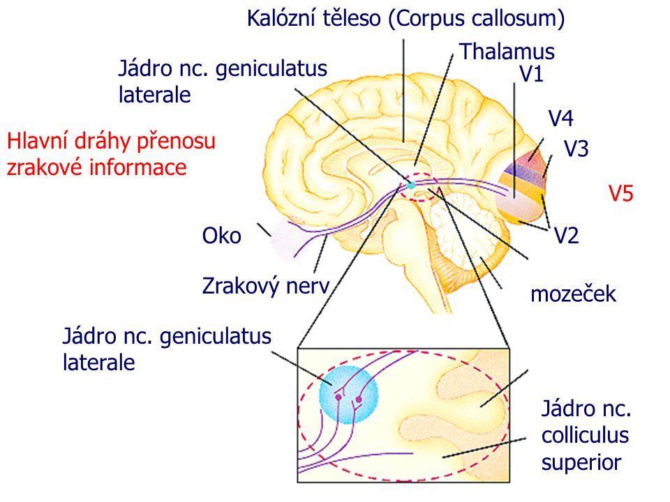 Hlavní dráhy přenosu zrakové informace Oko Zrakový nerv mozeček Kalózní těleso (Corpus callosum) Thalamus V1 V4 V3 V2 Jádro nc. geniculatus laterale J