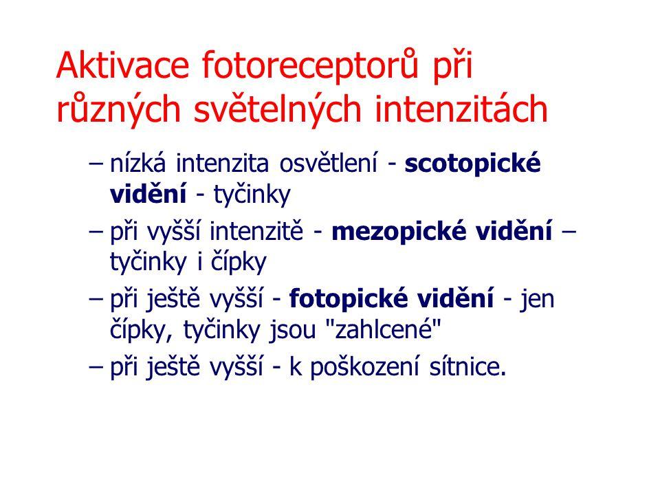 Aktivace fotoreceptorů při různých světelných intenzitách –nízká intenzita osvětlení - scotopické vidění - tyčinky –při vyšší intenzitě - mezopické vi