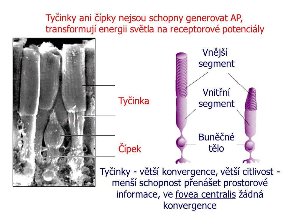 Tyčinka Vnější segment Vnitřní segment Buněčné tělo Čípek Tyčinky ani čípky nejsou schopny generovat AP, transformují energii světla na receptorové po