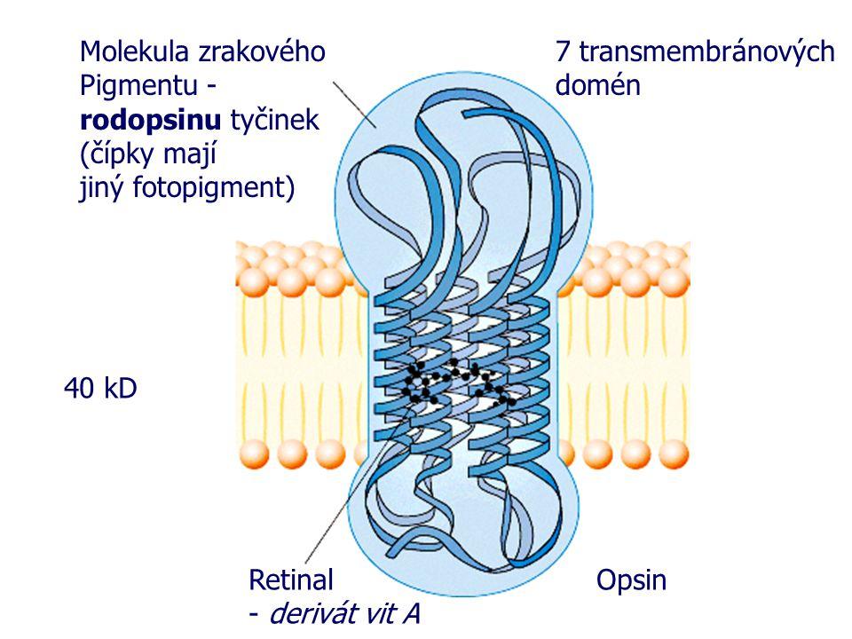 Molekula zrakového Pigmentu - rodopsinu tyčinek (čípky mají jiný fotopigment) Retinal - derivát vit A Opsin 40 kD 7 transmembránových domén