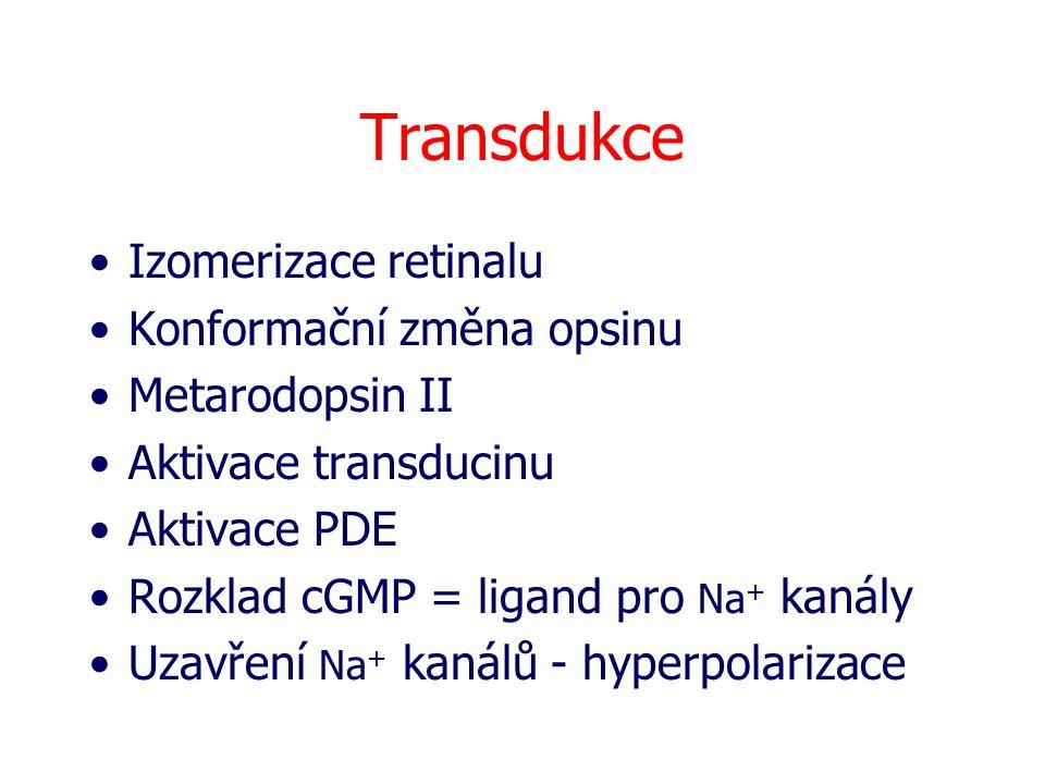 Transdukce Izomerizace retinalu Konformační změna opsinu Metarodopsin II Aktivace transducinu Aktivace PDE Rozklad cGMP = ligand pro Na + kanály Uzavř