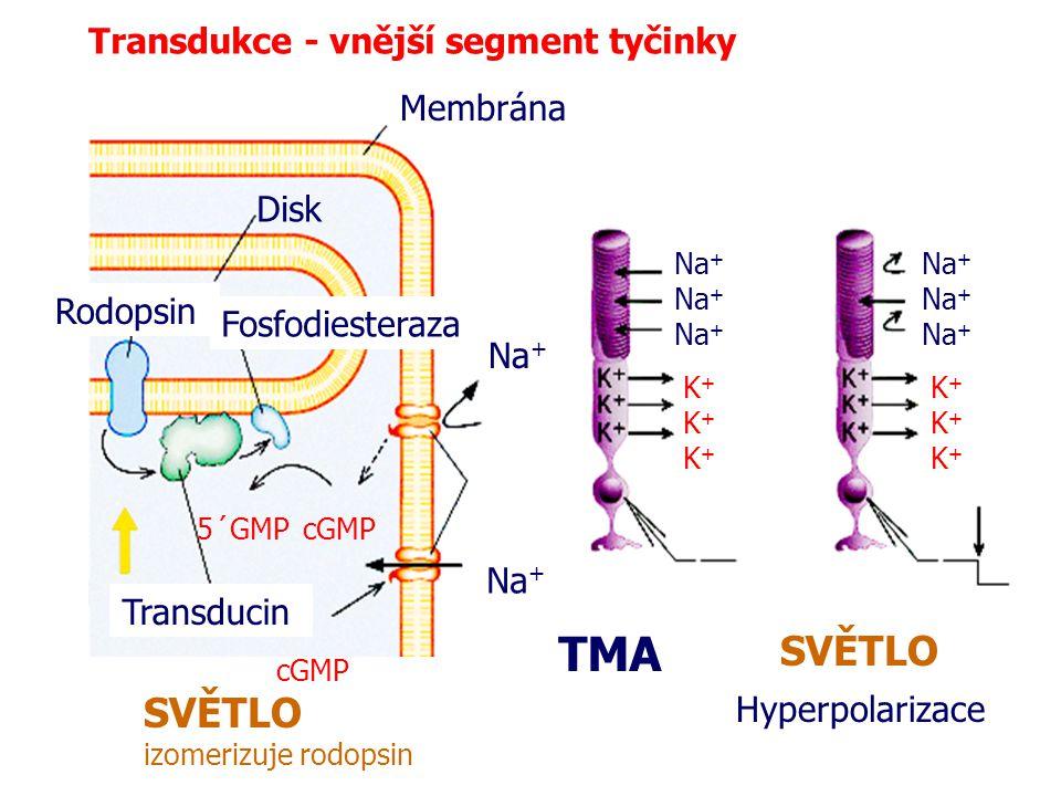 Transdukce - vnější segment tyčinky Membrána Disk Rodopsin Transducin Fosfodiesteraza cGMP5´GMP cGMP Na + K+K+ K+K+ K+K+ K+K+ K+K+ K+K+ TMA SVĚTLO izo