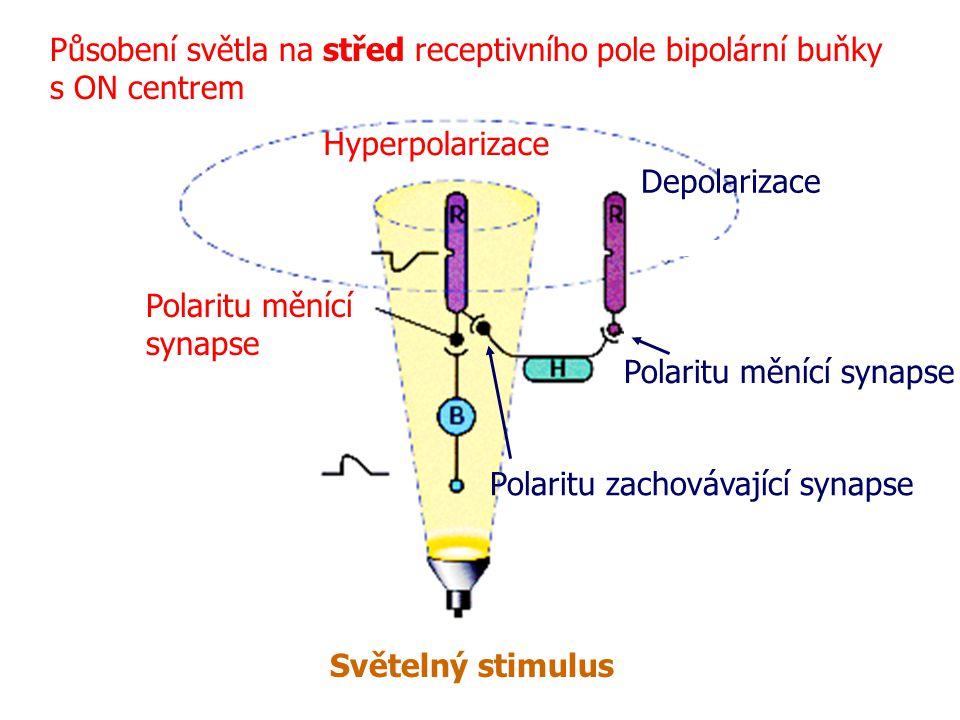 Působení světla na střed receptivního pole bipolární buňky s ON centrem Světelný stimulus Polaritu měnící synapse Depolarizace Polaritu zachovávající