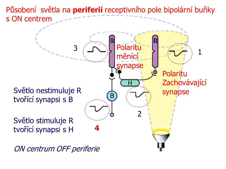 ON centrum OFF periferie Polaritu Zachovávající synapse Polaritu měnící synapse 1 2 3 4 Působení světla na periferii receptivního pole bipolární buňky