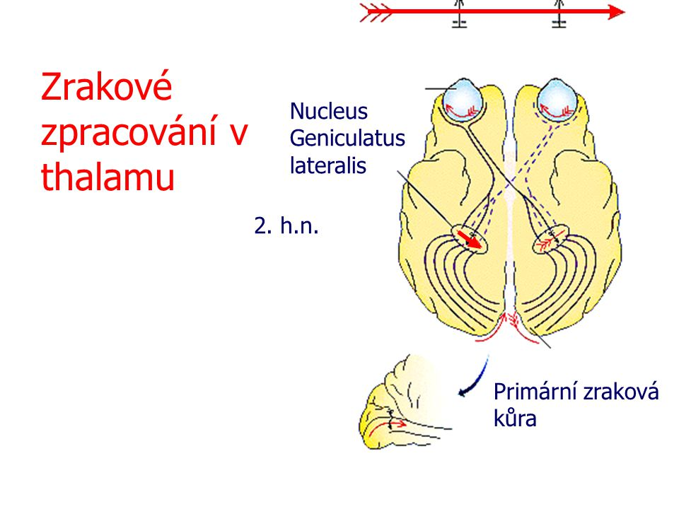 Zrakové zpracování v thalamu Nucleus Geniculatus lateralis Primární zraková kůra 2. h.n.