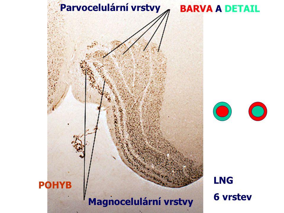 Magnocelulární vrstvy Parvocelulární vrstvy 6 vrstev BARVA A DETAIL POHYB LNG