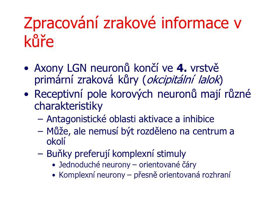 Zpracování zrakové informace v kůře Axony LGN neuronů končí ve 4. vrstvě primární zraková kůry (okcipitální lalok) Receptivní pole korových neuronů ma