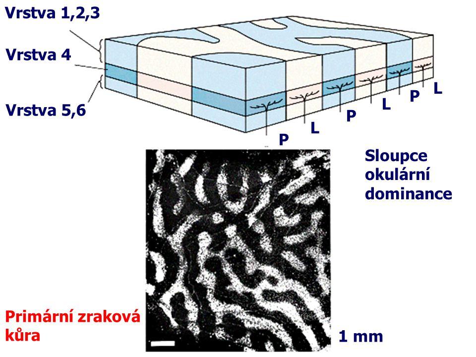 Primární zraková kůra Vrstva 4 Vrstva 1,2,3 Vrstva 5,6 P L P L P L Sloupce okulární dominance 1 mm