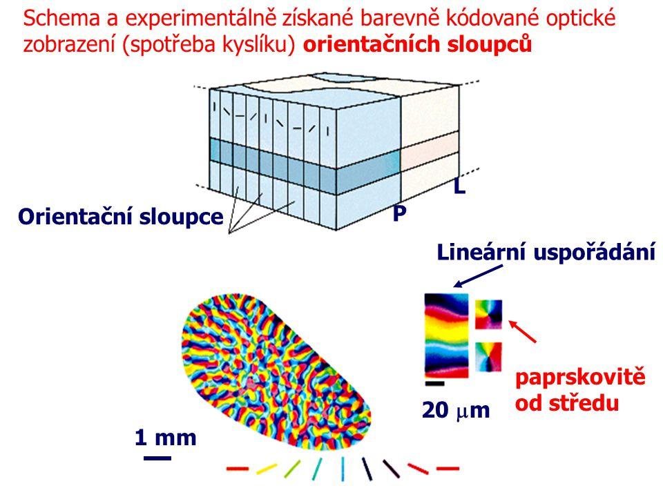 Orientační sloupce P L 1 mm 20  m Schema a experimentálně získané barevně kódované optické zobrazení (spotřeba kyslíku) orientačních sloupců Lineární