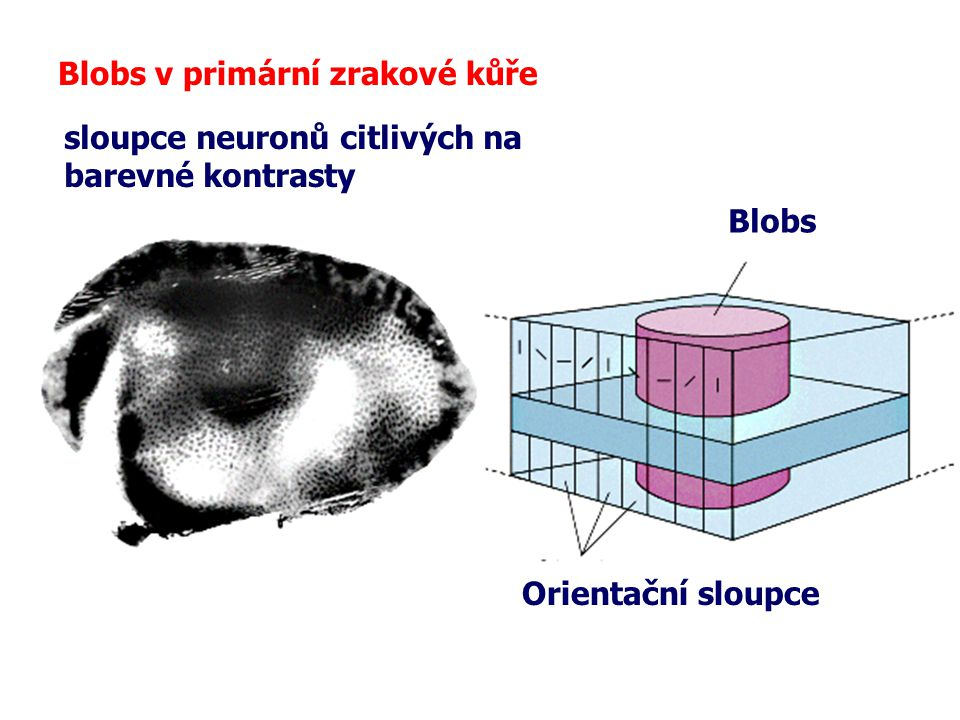 Blobs v primární zrakové kůře Blobs Orientační sloupce sloupce neuronů citlivých na barevné kontrasty