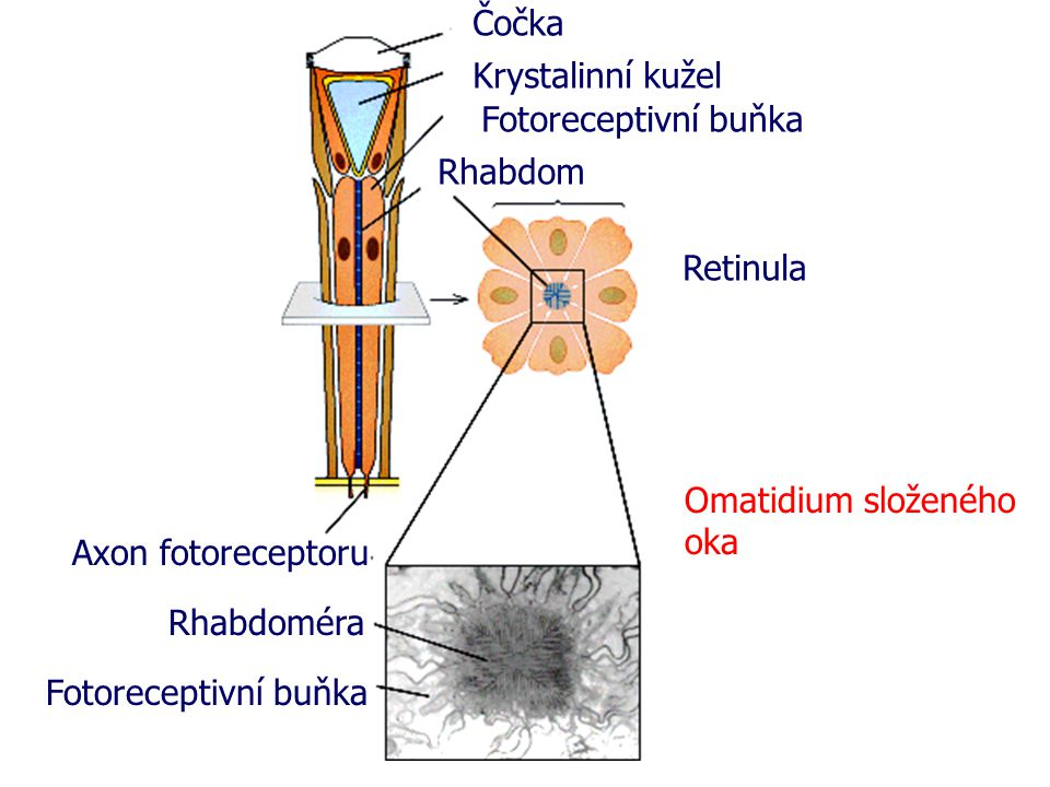 Čočka Krystalinní kužel Fotoreceptivní buňka Rhabdom Retinula Axon fotoreceptoru Rhabdoméra Fotoreceptivní buňka Omatidium složeného oka