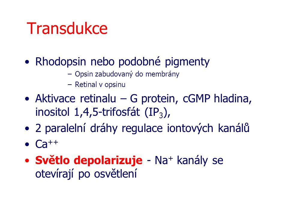 Transdukce Rhodopsin nebo podobné pigmenty –Opsin zabudovaný do membrány –Retinal v opsinu Aktivace retinalu – G protein, cGMP hladina, inositol 1,4,5