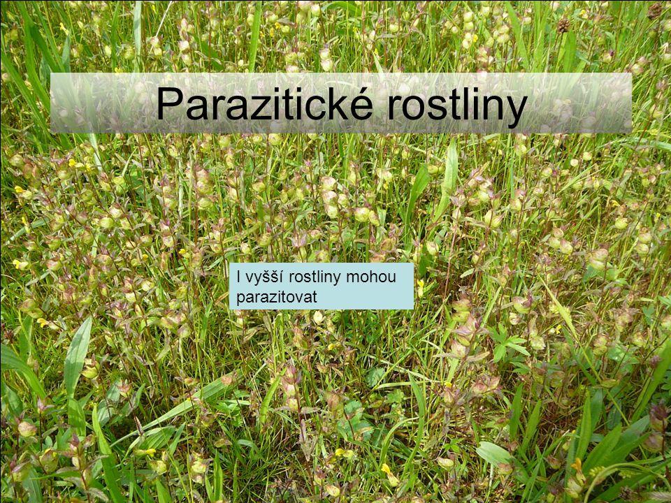 Parazitické rostliny I vyšší rostliny mohou parazitovat
