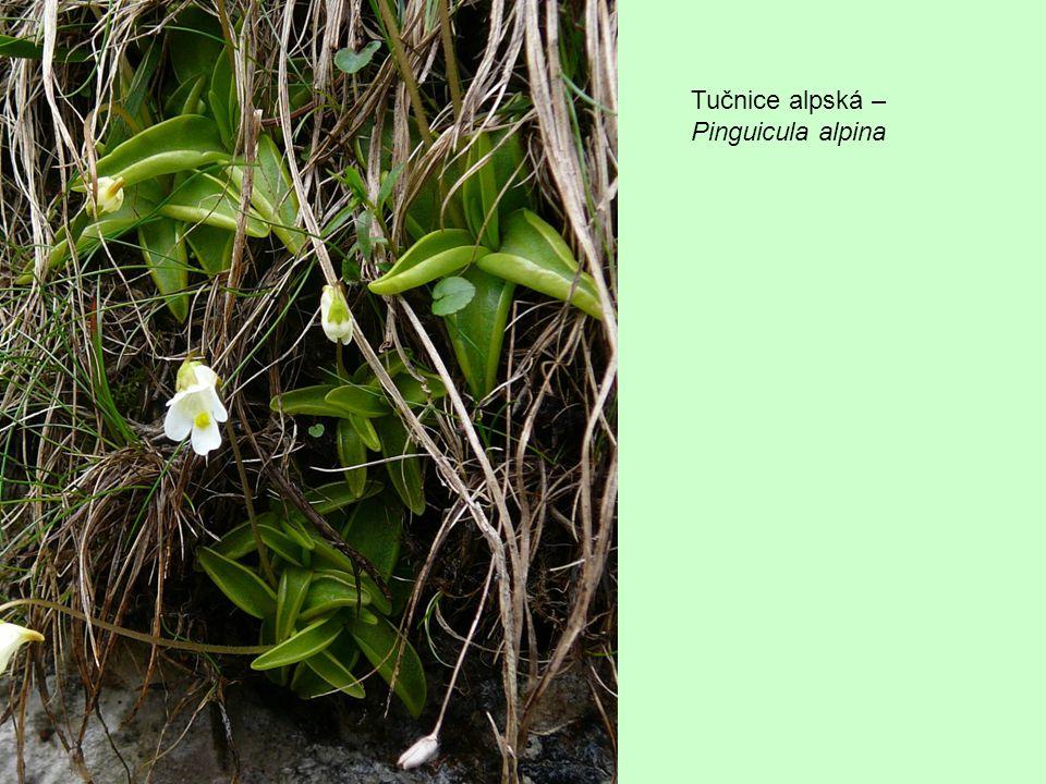 Tučnice alpská – Pinguicula alpina
