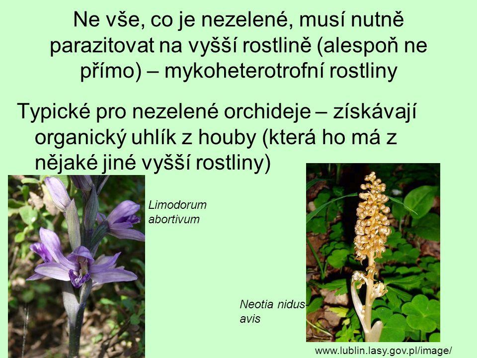Ne vše, co je nezelené, musí nutně parazitovat na vyšší rostlině (alespoň ne přímo) – mykoheterotrofní rostliny Typické pro nezelené orchideje – získá
