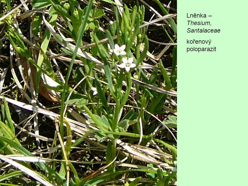 Lněnka – Thesium, Santalaceae kořenový poloparazit