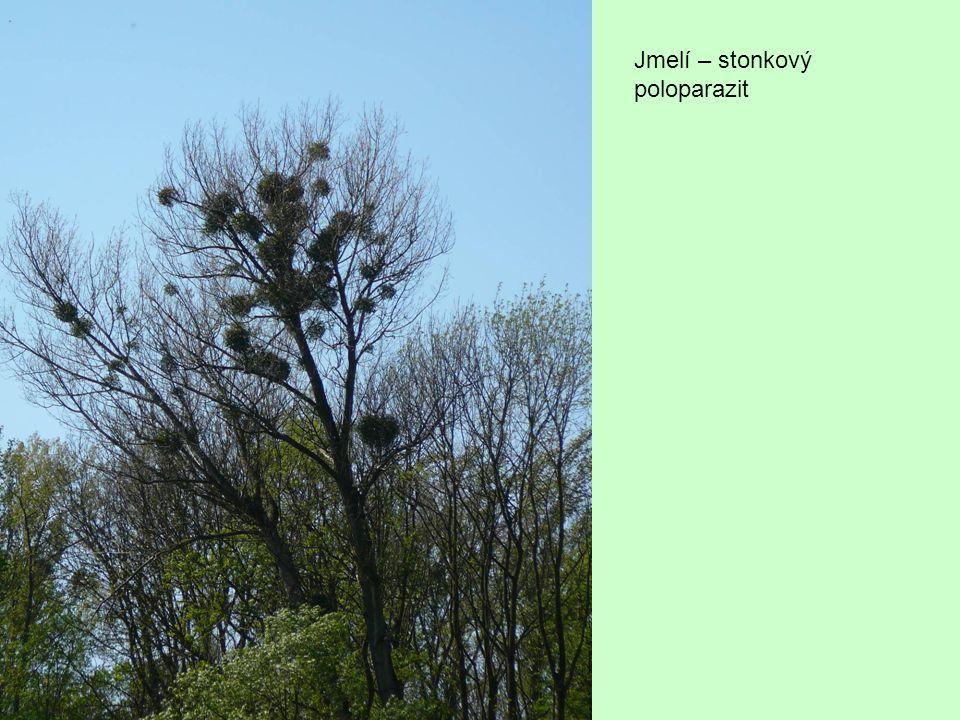 Kořenoví poloparazité Pod zemí jsou to parazité - získávají vodu a živiny z xylému hostitele Nad zemí fotosyntetizují - takže si s hostitelem konkurují Z hostitele ale často získávají i produkty fotosyntézy, a také sekundární metabolity