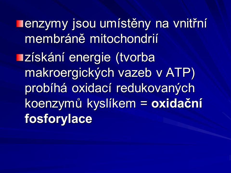 enzymy jsou umístěny na vnitřní membráně mitochondrií získání energie (tvorba makroergických vazeb v ATP) probíhá oxidací redukovaných koenzymů kyslíkem = oxidační fosforylace