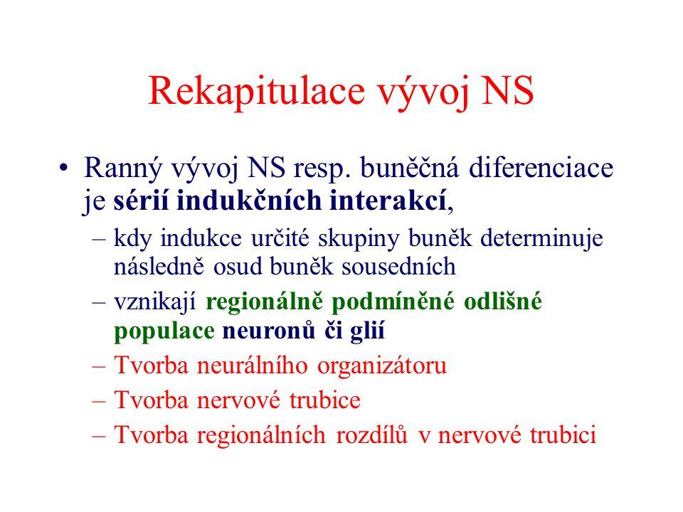 Rekapitulace vývoj NS Ranný vývoj NS resp. buněčná diferenciace je sérií indukčních interakcí, –kdy indukce určité skupiny buněk determinuje následně