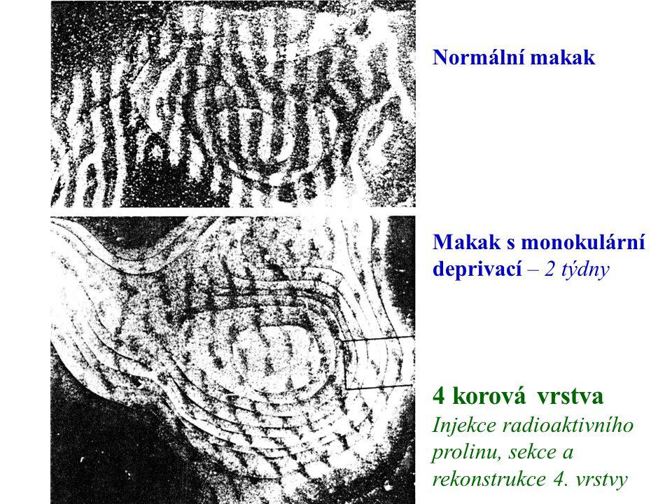 4 korová vrstva Injekce radioaktivního prolinu, sekce a rekonstrukce 4. vrstvy Makak s monokulární deprivací – 2 týdny Normální makak