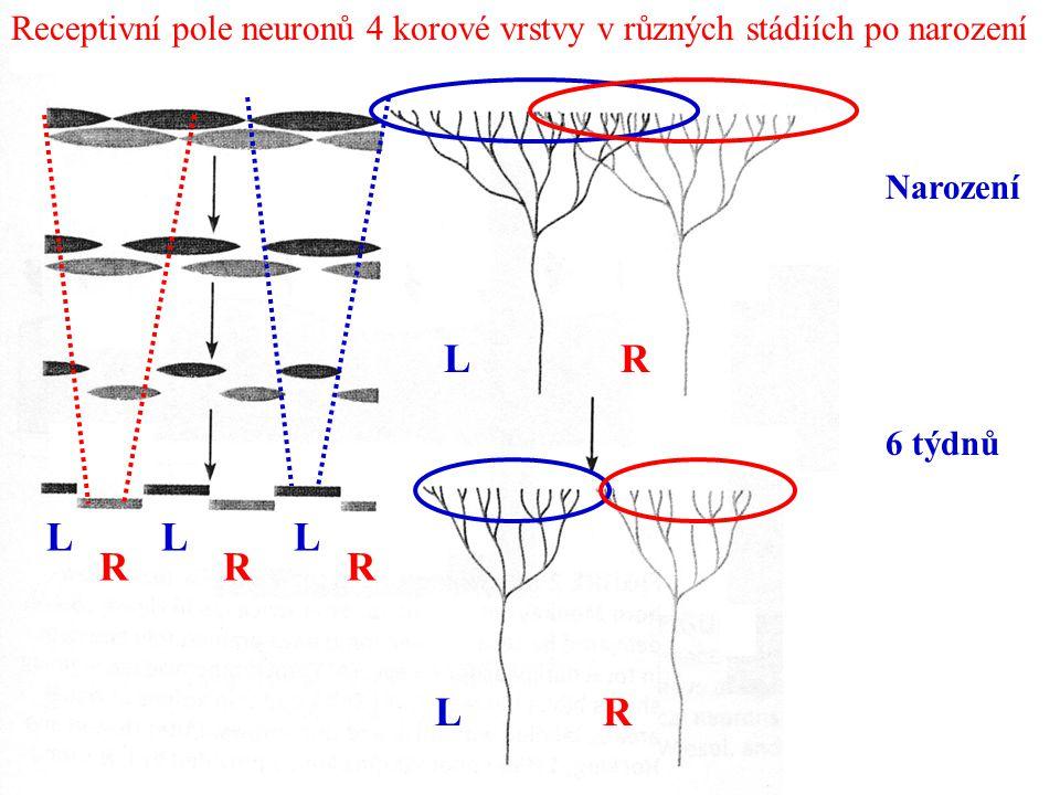 Narození 6 týdnů L R LL RR L LR R Receptivní pole neuronů 4 korové vrstvy v různých stádiích po narození