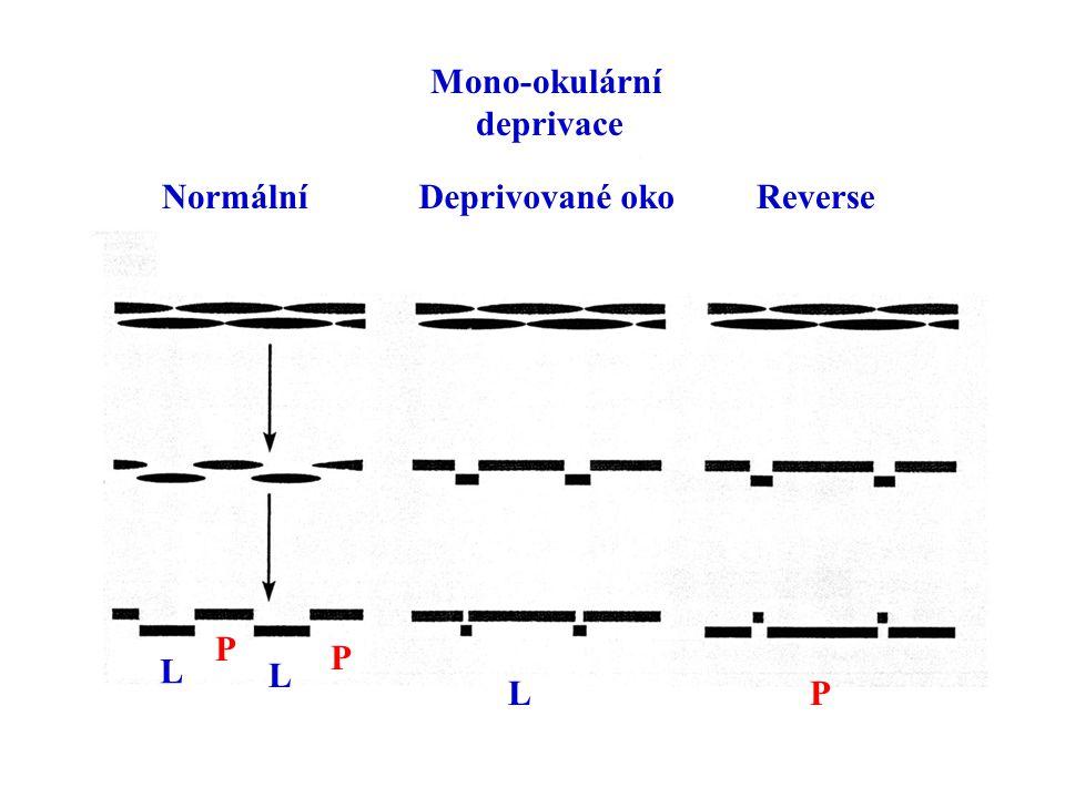 Normální Mono-okulární deprivace ReverseDeprivované oko L P L P PL