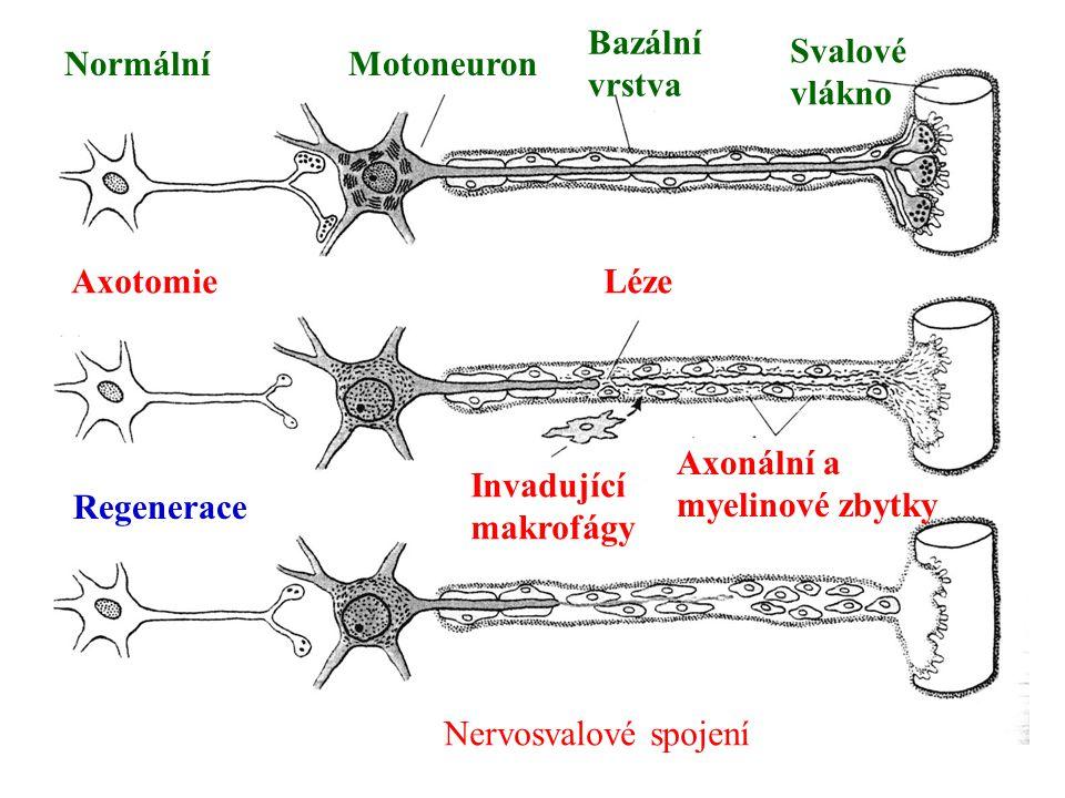 NormálníMotoneuron Bazální vrstva Svalové vlákno AxotomieLéze Invadující makrofágy Axonální a myelinové zbytky Regenerace Nervosvalové spojení