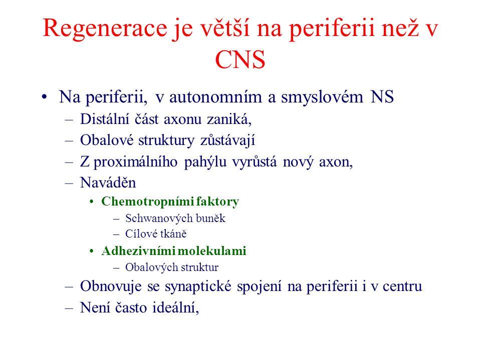 Regenerace je větší na periferii než v CNS Na periferii, v autonomním a smyslovém NS –Distální část axonu zaniká, –Obalové struktury zůstávají –Z proximálního pahýlu vyrůstá nový axon, –Naváděn Chemotropními faktory –Schwanových buněk –Cílové tkáně Adhezivními molekulami –Obalových struktur –Obnovuje se synaptické spojení na periferii i v centru –Není často ideální,