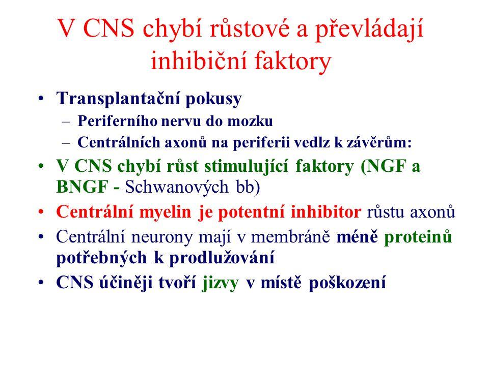 V CNS chybí růstové a převládají inhibiční faktory Transplantační pokusy –Periferního nervu do mozku –Centrálních axonů na periferii vedlz k závěrům: V CNS chybí růst stimulující faktory (NGF a BNGF - Schwanových bb) Centrální myelin je potentní inhibitor růstu axonů Centrální neurony mají v membráně méně proteinů potřebných k prodlužování CNS účiněji tvoří jizvy v místě poškození