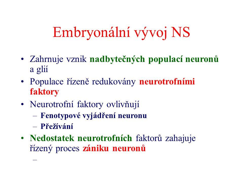 Embryonální vývoj NS Zahrnuje vznik nadbytečných populací neuronů a glií Populace řízeně redukovány neurotrofními faktory Neurotrofní faktory ovlivňují –Fenotypové vyjádření neuronu –Přežívání Nedostatek neurotrofních faktorů zahajuje řízený proces zániku neuronů –