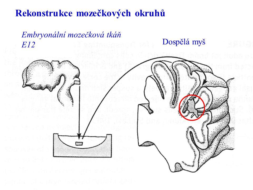 Rekonstrukce mozečkových okruhů Embryonální mozečková tkáň E12 Dospělá myš