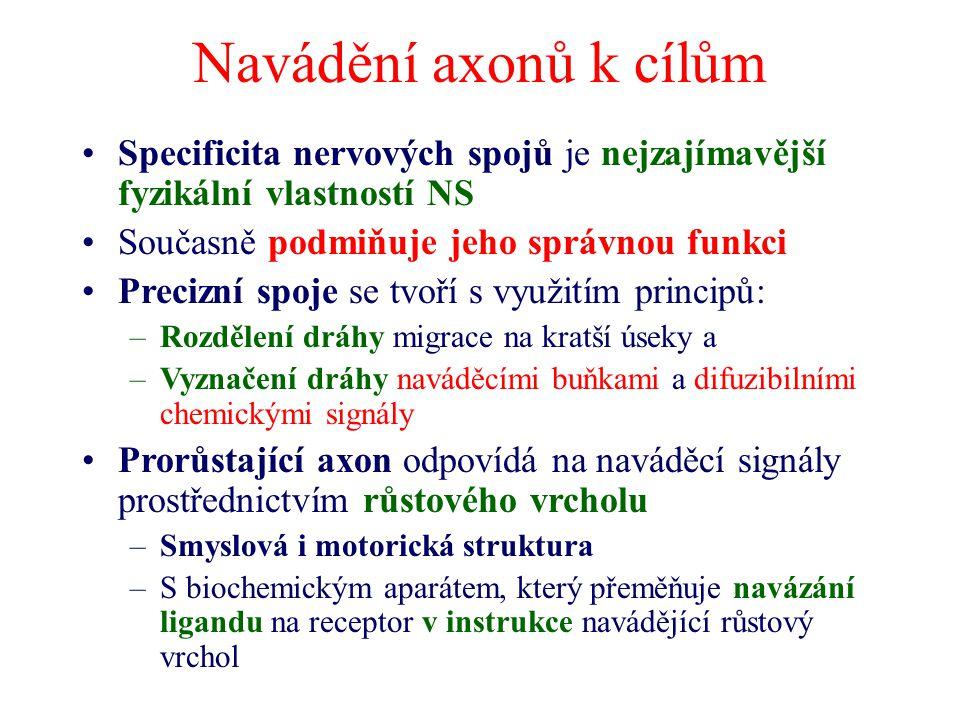 Navádění axonů k cílům Specificita nervových spojů je nejzajímavější fyzikální vlastností NS Současně podmiňuje jeho správnou funkci Precizní spoje se