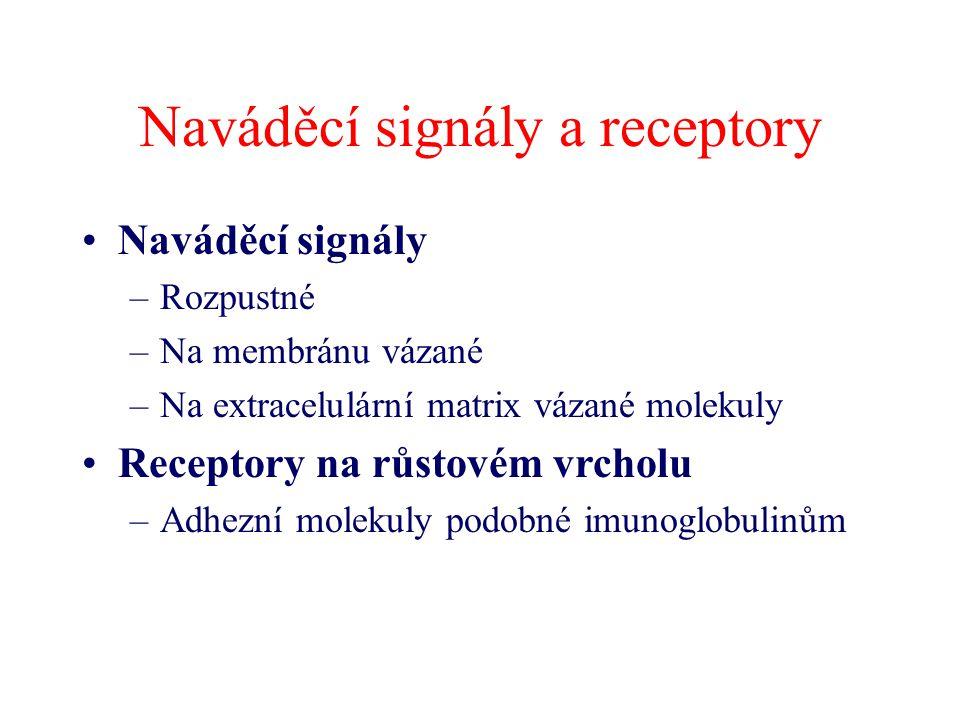 Naváděcí signály a receptory Naváděcí signály –Rozpustné –Na membránu vázané –Na extracelulární matrix vázané molekuly Receptory na růstovém vrcholu –