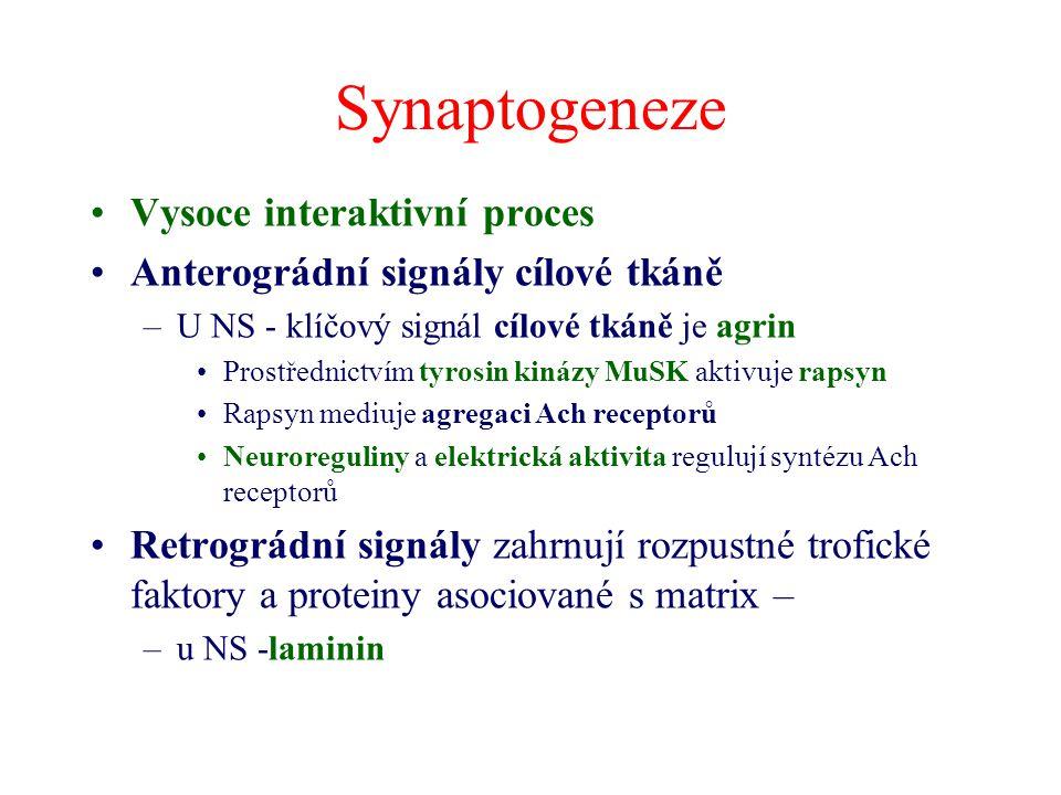 Synaptogeneze Vysoce interaktivní proces Anterográdní signály cílové tkáně –U NS - klíčový signál cílové tkáně je agrin Prostřednictvím tyrosin kinázy MuSK aktivuje rapsyn Rapsyn mediuje agregaci Ach receptorů Neuroreguliny a elektrická aktivita regulují syntézu Ach receptorů Retrográdní signály zahrnují rozpustné trofické faktory a proteiny asociované s matrix – –u NS -laminin