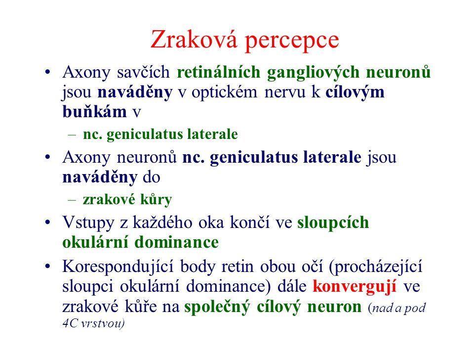 Zraková percepce Axony savčích retinálních gangliových neuronů jsou naváděny v optickém nervu k cílovým buňkám v –nc. geniculatus laterale Axony neuro