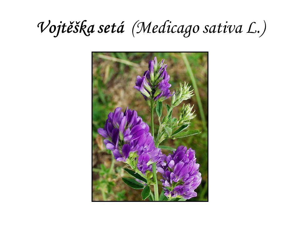 Vojtěška setá (Medicago sativa L.)