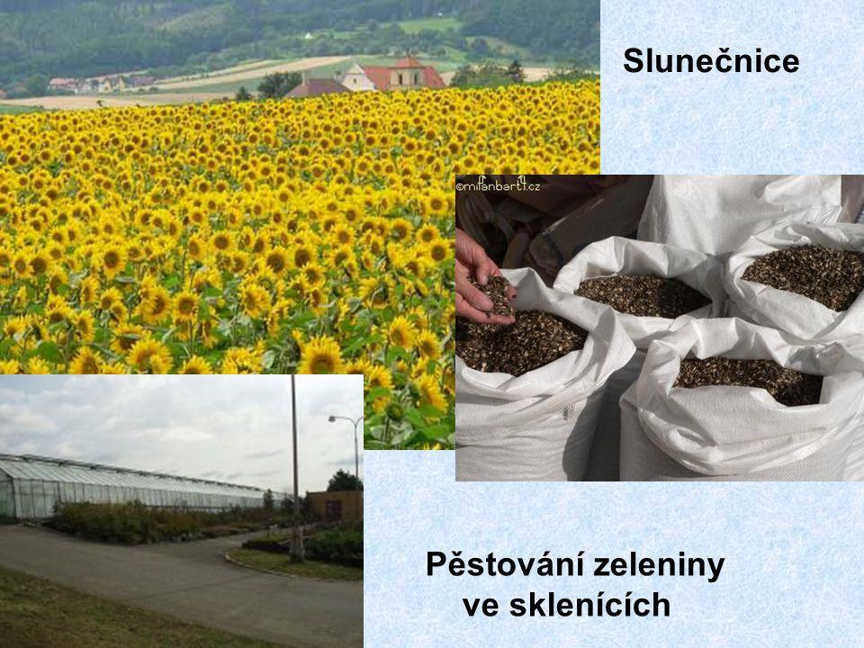 Slunečnice Pěstování zeleniny ve sklenících
