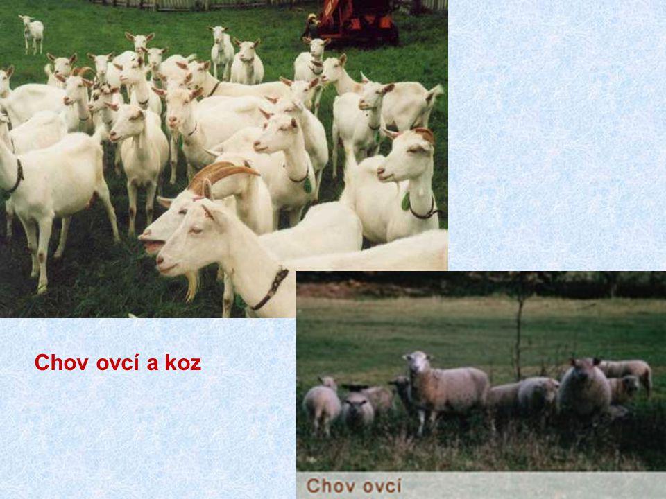Chov ovcí a koz