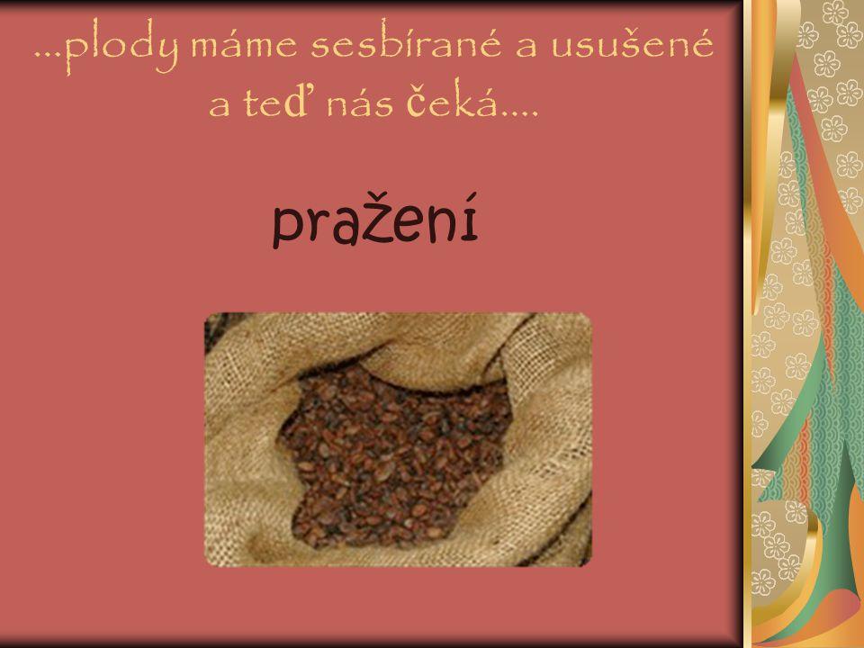 ….sb ě r plod ů kakaovníku… Sesbírané hn ě dé plody obsahují dužinu s bílými boby, které se nechávají rozkvasit a poté sušit.