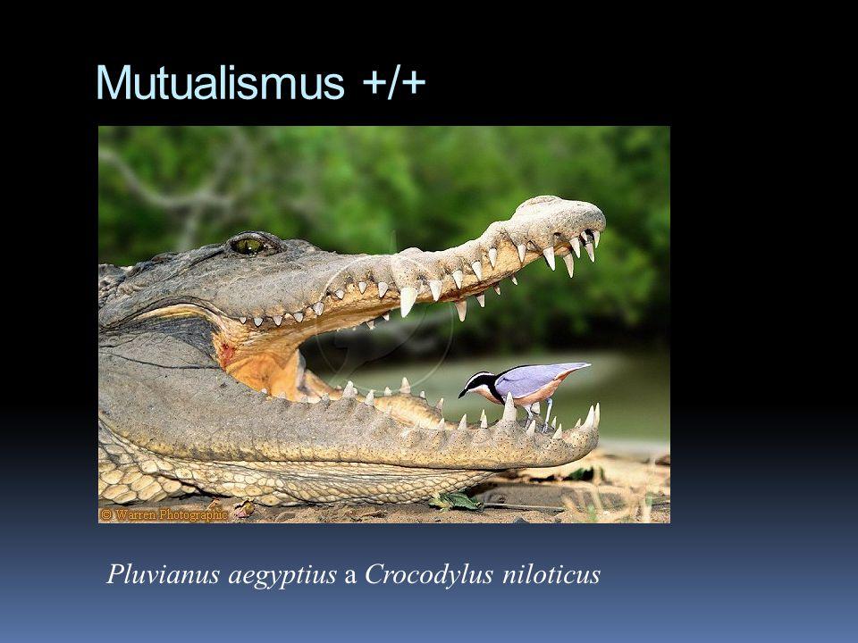 Pluvianus aegyptius a Crocodylus niloticus