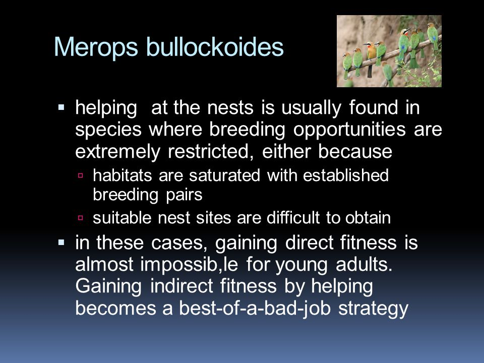 Merops bullockoides  helping at the nests is usually found in species where breeding opportunities are extremely restricted, either because  habitats are saturated with established breeding pairs  suitable nest sites are difficult to obtain  in these cases, gaining direct fitness is almost impossib,le for young adults.