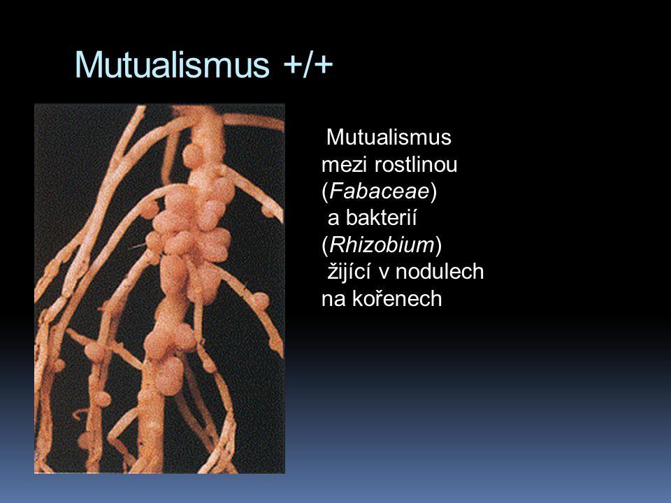 Mutualismus mezi rostlinou (Fabaceae) a bakterií (Rhizobium) žijící v nodulech na kořenech Mutualismus +/+